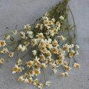 マトリカリア /ドライフラワー 花材 リース 手作り 材料 素材 ナチュラル 白い花 インテリア