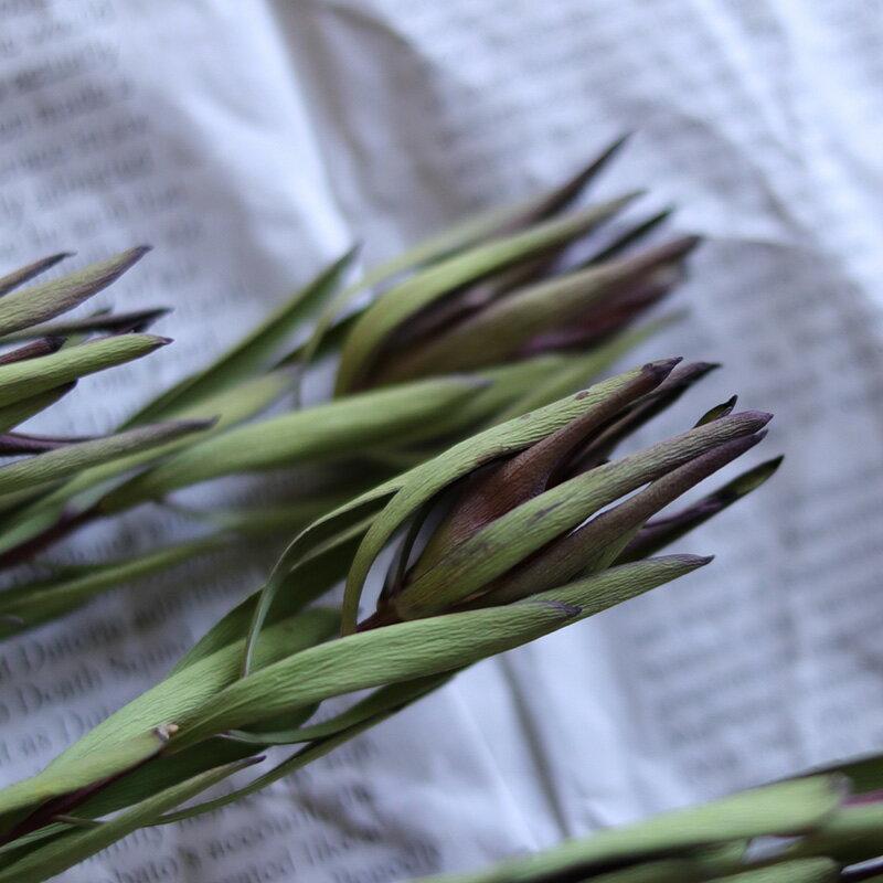 リューカデンドロン ブラッシュ / ドライフラワー 花材 リース 手作り 材料 素材 ナチュラル インテリア ディスプレイ
