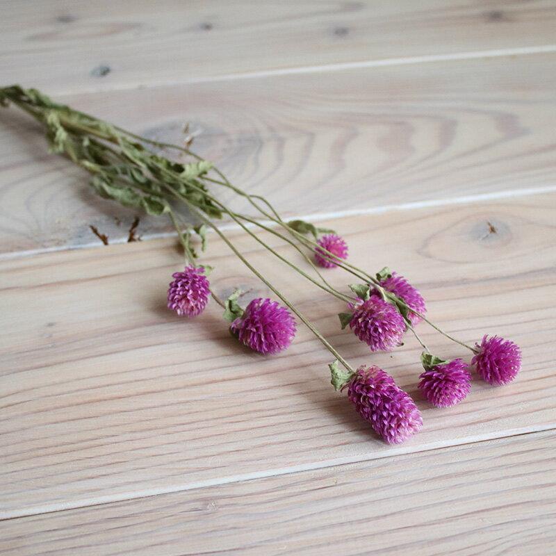【少量パック】千日紅 ローズネオン ( パープル系ピンク )/ ドライフラワー ナチュラル インテリア 花材 素材 クラフト 材料 リース