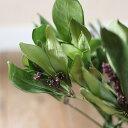スキミア ( シキミア ) / ドライフラワー 花材 リース 手作り 材料 素材 ナチュラル インテリア シック ディスプレイ ボタニカル グリーン 実もの