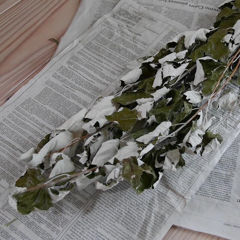 ホワイトポプラ ( ギンドロ ) / 北海道産 ドライフラワー 花材 リース 手作り 国産 材料 素材 ナチュラル インテリア シルバーリーフ グリーン