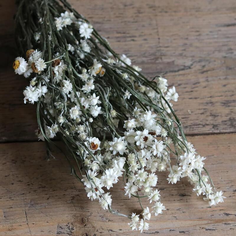 アンモビューム つぼみ / 北海道産ドライフラワー ナチュラル インテリア 花材 素材 クラフト ホワイト 白 材料 リース