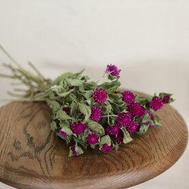 千日紅 パープル / 北海道産ドライフラワー ナチュラル インテリア 花材 素材 クラフト 紫 材料 リース