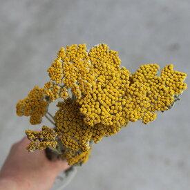 ヤロウ ( ヤロー )/ 北海道産 ドライフラワー 花材 リース 手作り 国産 材料 素材 ナチュラル インテリア ディスプレイ 黄色 イエロー