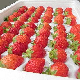 夏いちご (300g・30〜36粒)×2トレー送料無料 北海道産出荷期間 6月中旬〜12月上旬