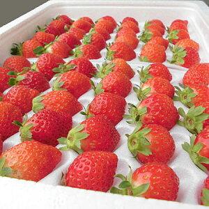 夏いちご (300g・30〜36粒前後)×2トレー送料無料 北海道産出荷期間 6月中旬〜12月上旬