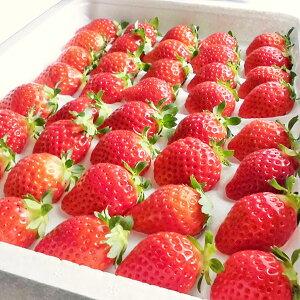 夏いちご (300g・15〜24粒)×2トレー送料無料 北海道産出荷期間 6月中旬〜12月上旬