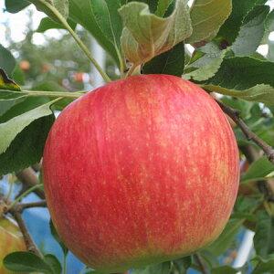 北海道産りんご ハックナイン 5kg(16〜18玉)送料無料 生産元直送出荷期間 11月中旬〜11月下旬