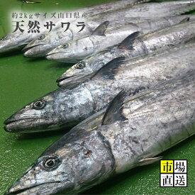 サワラ・鰆・サゴシ(約2キロサイズ)・寒鰆・出世魚