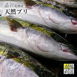 天然ブリ 鰤ハマチ(1入4〜5Kg)