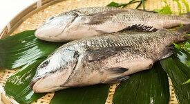 クロダイ・黒鯛・チヌ1枚(約1kg)