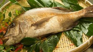 鯛活き締め!天然真鯛!天然タイ! 瀬戸内産(1尾 約800g〜1kg)
