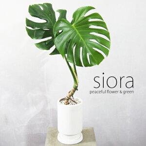 現品お届け!樹形選べます!モンステラ・デリシオーサ根あがり・フロートール【観葉植物・インテリアグリーン】