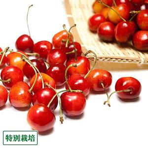 さくらんぼ 紅秀峰 500g 特別栽培 (山形県 森谷農園) 産地直送