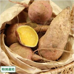【セール】安納芋 土付き 10kg 特別栽培(無・無) (鹿児島県種子島 濱川和成) 産地直送