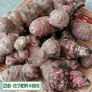赤菊芋 土付き 5kg 農薬不使用 (青森県 佐々木農園) 産地直送