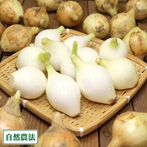 【クール便・セール】玉ねぎ 5kg (2S〜3Sサイズ) 自然農法 (兵庫県淡路島 花岡農恵園) 産地直送