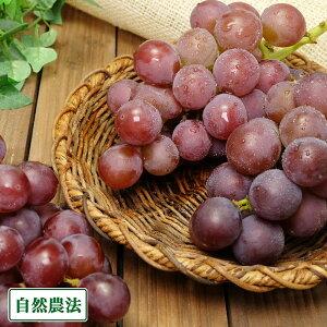 【予約商品】ぶどう 紅伊豆 1kg 自然農法 (宮城県 後藤ぶどう園) 産地直送