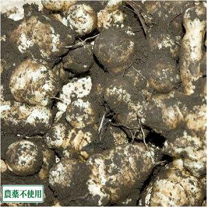 菊芋 (土付き) 5kg 農薬不使用 (青森県 須藤農園) 産地直送