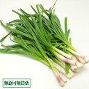 【クール冷蔵便】葉にんにく 3kg 農薬・化学肥料不使用 (福岡県 たなかふぁーむ) 産地直送