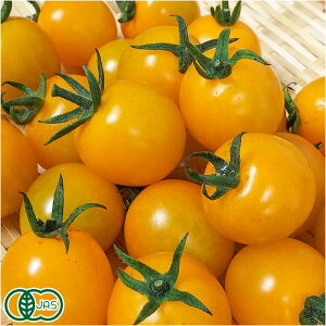【クール便】 有機 ミニトマト(黄) 150g×4パック 有機JAS (青森県 自然食ねっと青森) 産地直送