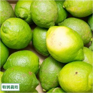 【B品】レモン(青) 10kg 県特別栽培 (熊本県 オレンジヒルズ) 産地直送