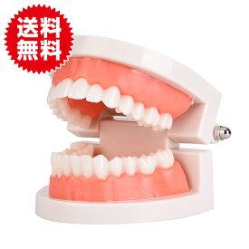 歯 模型 歯列 歯形 歯磨き 指導 模型 学習用 小型 歯科 実習 ブラッシング 歯磨き 練習用 180度 開閉式