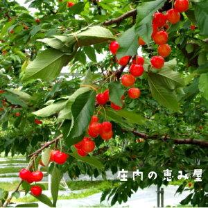 さくらんぼ 紅秀峰 1kg 大玉 L 手詰め 山形県庄内産