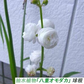 趣味: 期間限定(3〜5月) 抽水植物「八重オモダカ」 球根 (自家栽培品)[条件付き メール便対応 ]