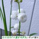 趣味:期間限定(5月〜) 抽水植物「八重オモダカ」 ポット植え(自家栽培品)