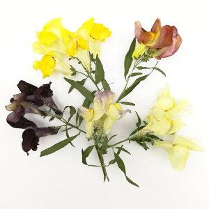 【即納】 そらプリ ドライフラワー 花材 そらプリ 野の花ドライ キンギョソウ 5本 お花 シリカ ギフト お祝い インテリア プレゼント 贈り物 結婚祝い 誕生日プレゼント エレガント 大地農園