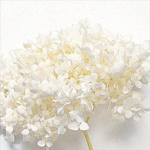 【即納】 プリザーブドフラワー 花材 30%OFF ソフトアナベルヘッドアジサイ【オフホワイト 箱2輪入】 大地農園