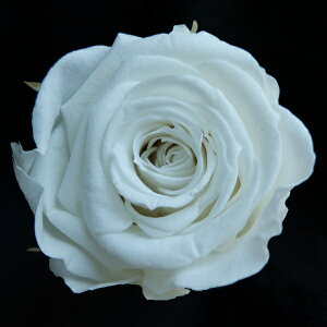 【即納】 ブリザードフラワー 花材 ベイビー【パールホワイト 小分け 1輪入】 フロールエバー