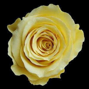 【即納】 ブリザードフラワー 花材 ベイビー ローズ【イエロー 小分け 1輪入】 フロールエバー
