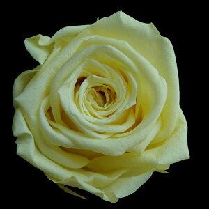 【即納】 ブリザードフラワー 花材 ベイビー ローズ【ソフトイエロー 小分け 1輪入】 フロールエバー
