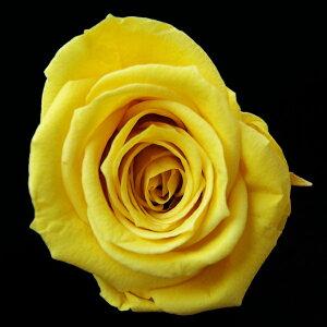 【即納】 ブリザードフラワー 花材 ベイビー ローズ【ゴールデンイエロー 小分け 1輪入】 フロールエバー