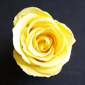 【即納】 ベベs ローズ【レモン】1輪 小分け プリマヴェーラ