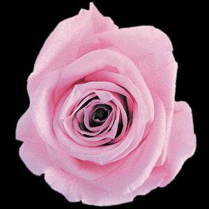 【即納】 プリザーブドフラワー 花材 スタンダード ラベンダーピンク 1輪 フロールエバー
