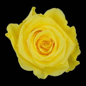 【即納】 プリザーブドフラワー 花材 メディアナ ローズ【イエロー 小分け 1輪入】 フロールエバー