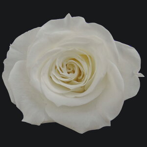 【即納】 プリザーブドフラワー 花材 いずみ ローズ 【ピュアホワイト】 1輪 大地農園