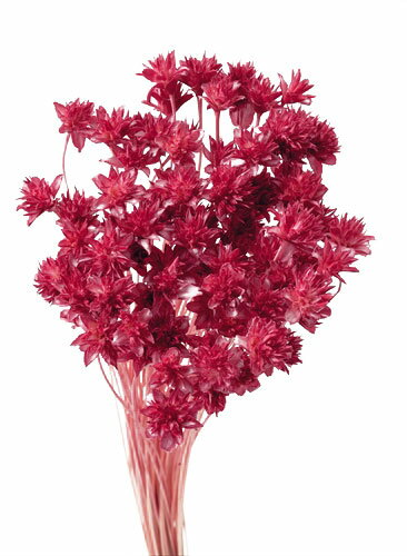 【即納】 プリザーブドフラワー 花材 30%OFF ミニコーンフラワー【フランボワーズ 袋 約80本入】 大地農園