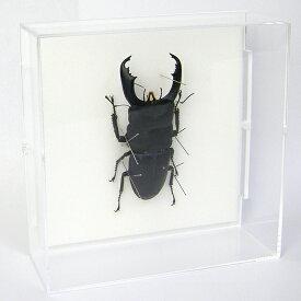 虫の標本 オオヒラタクワガタ アクリルフレーム 透明