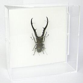 虫の標本 メタリフェールホソアカクワガタ アクリルフレーム 透明