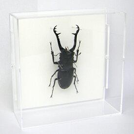 昆虫標本 ギラファノコギリクワガタ アクリルフレーム 透明
