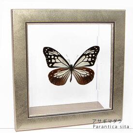 蝶の標本 アサギマダラ メタリック調ライトフレーム