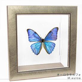 蝶の標本 オーロラモルフォ メタリック調ライトフレーム