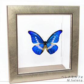 昆虫標本 蝶の標本 ヘレナモルフォ メタリック調ライトフレーム