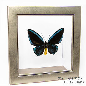 昆虫標本 蝶の標本 アオメガネアゲハ メタリック調ライトフレーム
