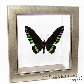 昆虫標本 蝶の標本 オオアカエリトリバネアゲハ メタリック調ライトフレーム