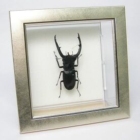 虫の標本 マンディブラリスフタマタクワガタ メタリック調ライトフレーム